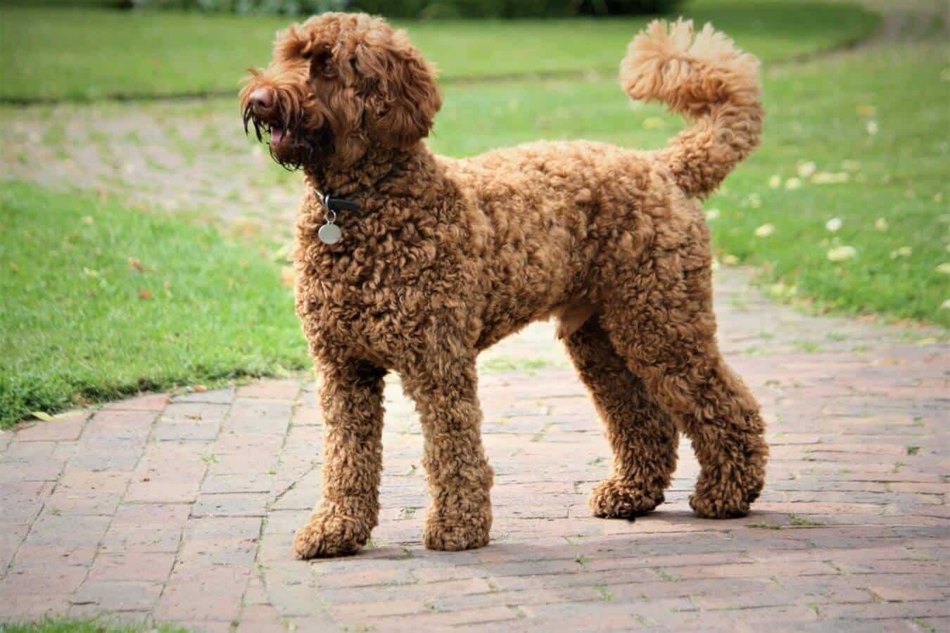 A dog (labradoodle) standing outside