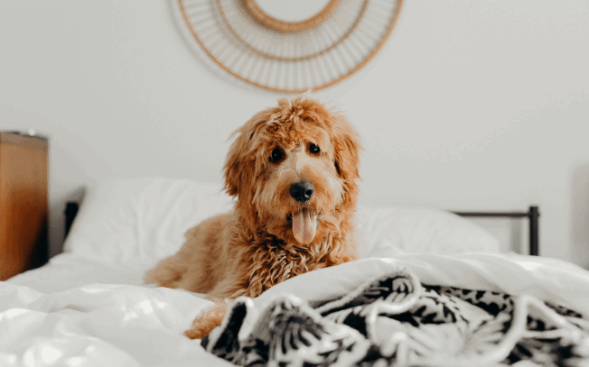 Goldendoodle dog laying on a bed.