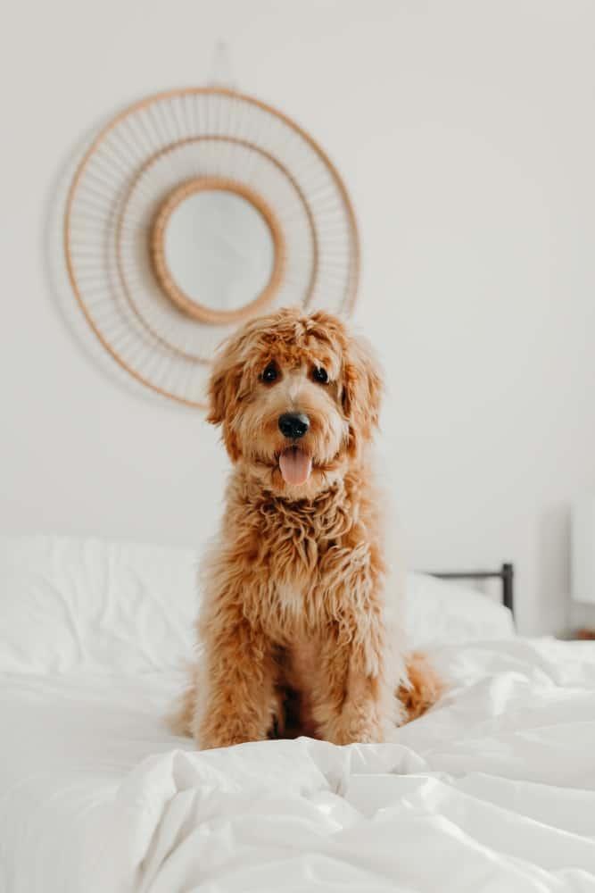 Goldendoodle dog sitting on the bed.