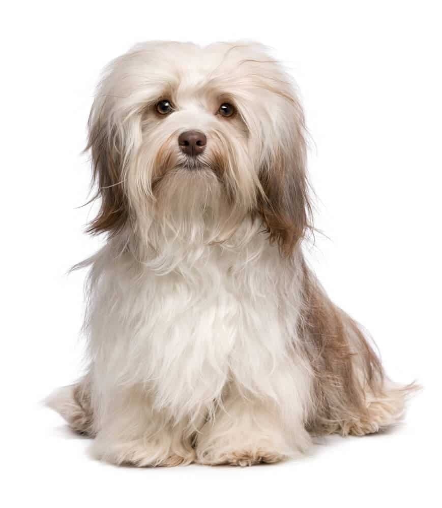 A white havanese dog sitting