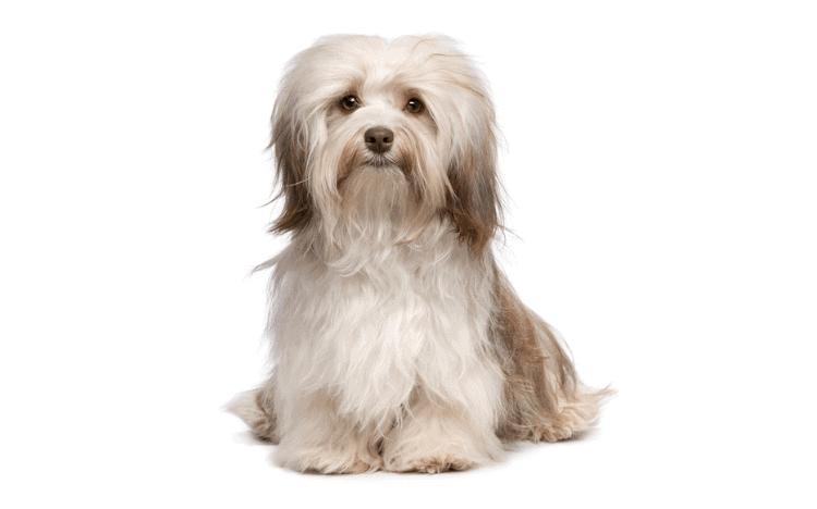 Cream colored small dog sitting