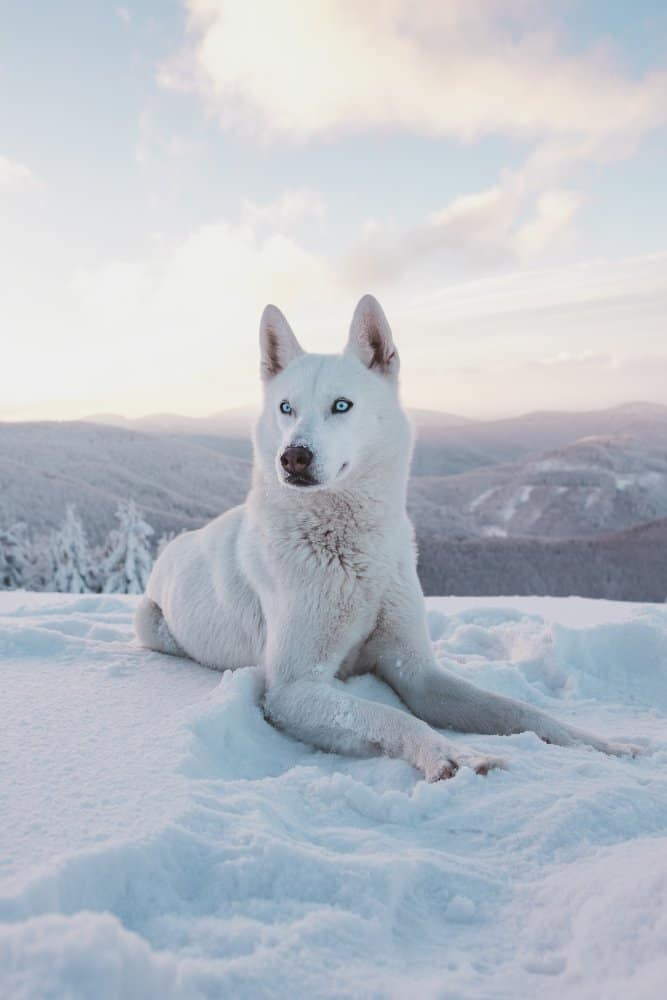 White husky laying in the snow
