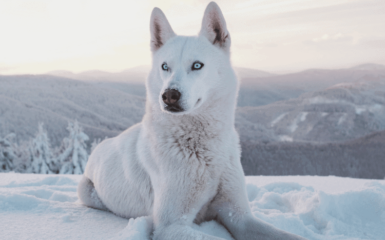 A white Husky laying in the snow