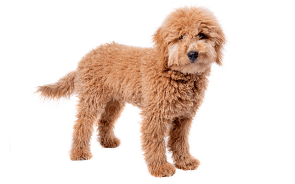 Small golden dog with curly fur