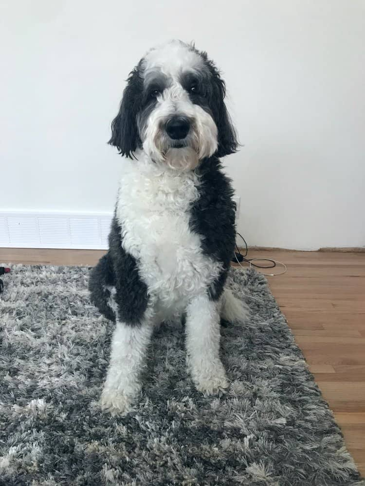 Black and white Sheepadoodle dog siting