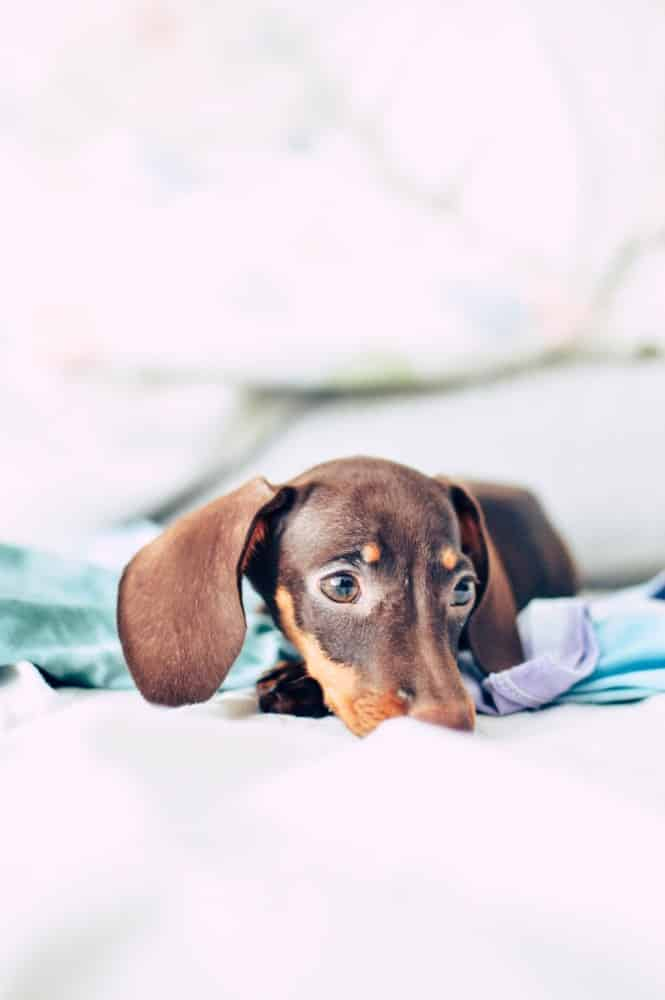 A Dachshund dog laying in bed.