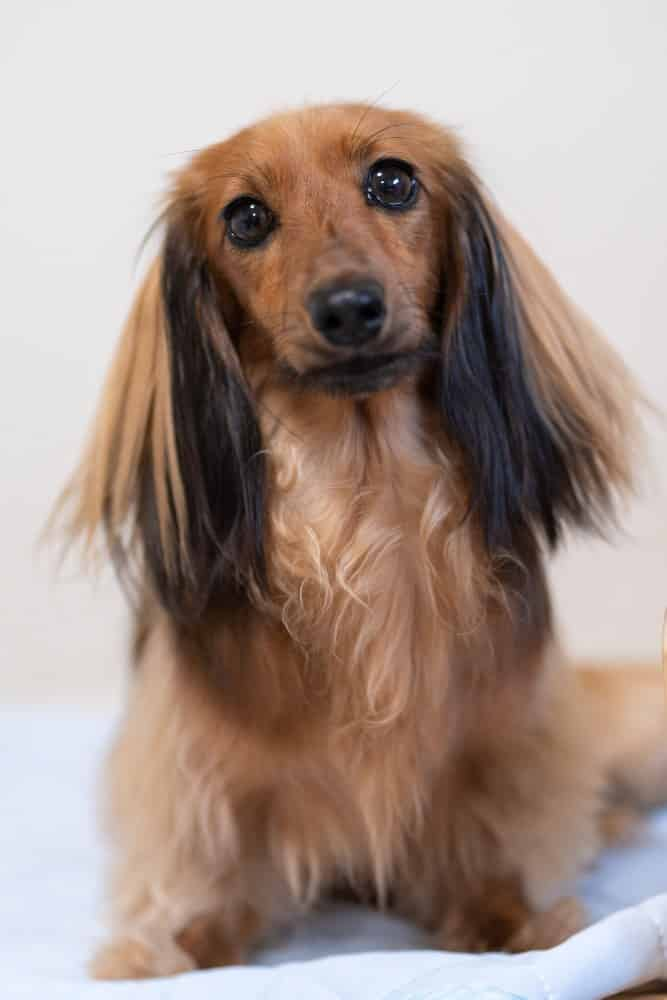 A brown Dachshund dog sitting.