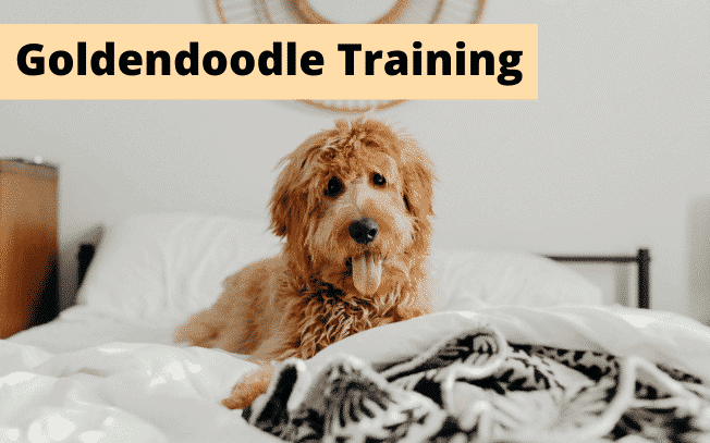 A Goldendoodle dog with text overlay: Goldendoodle training.