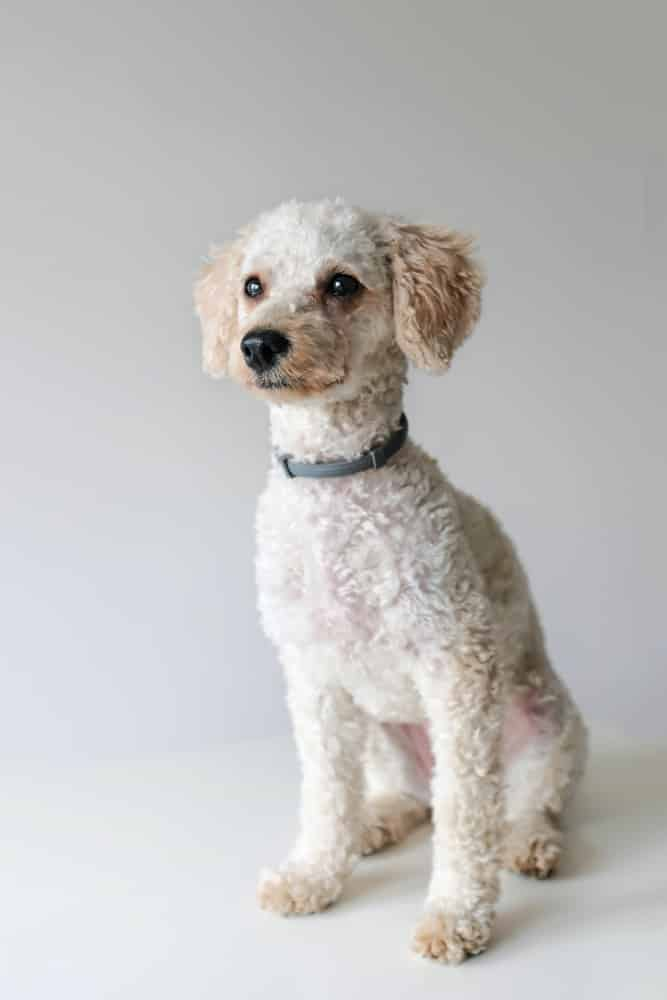 A white miniature Poodle dog sitting.