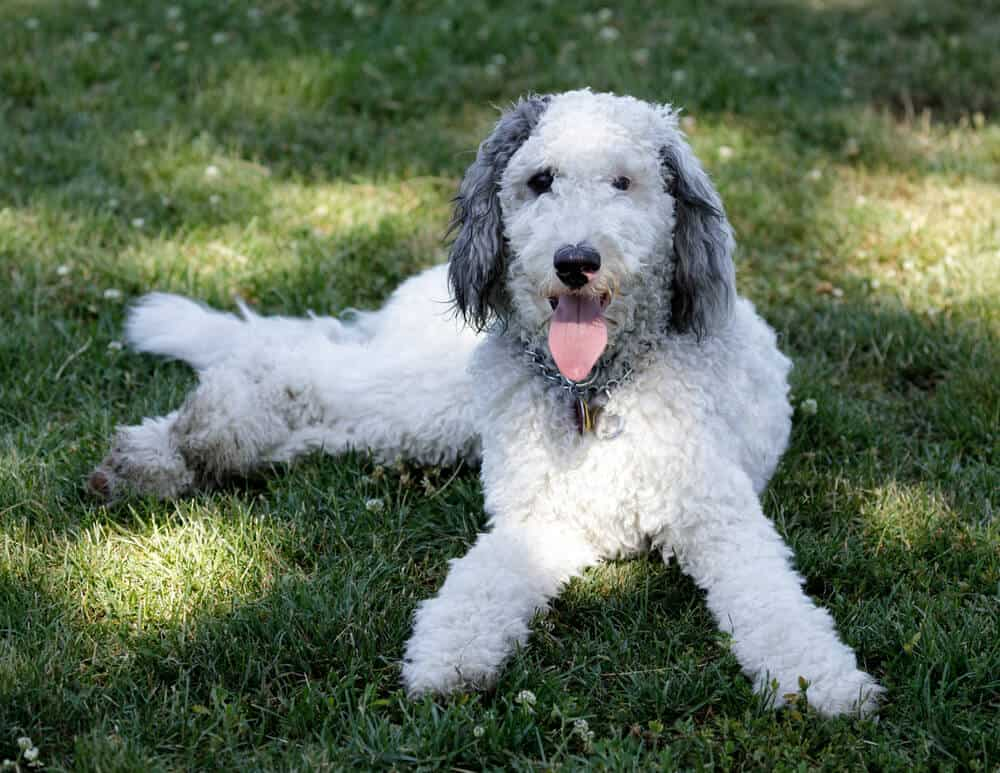 A white and grey Bernedoodle dog