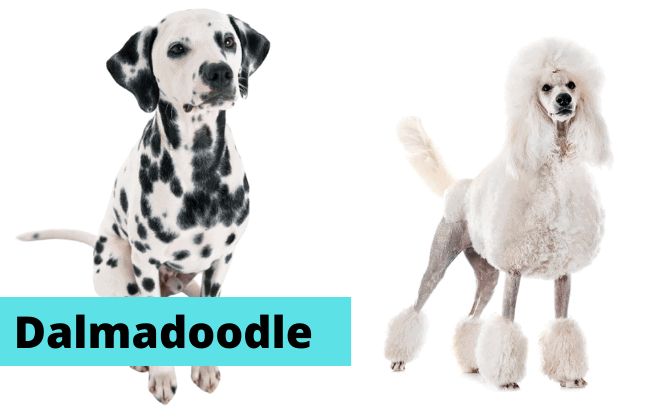Two dogs sitting with text: Dalmadoodle.