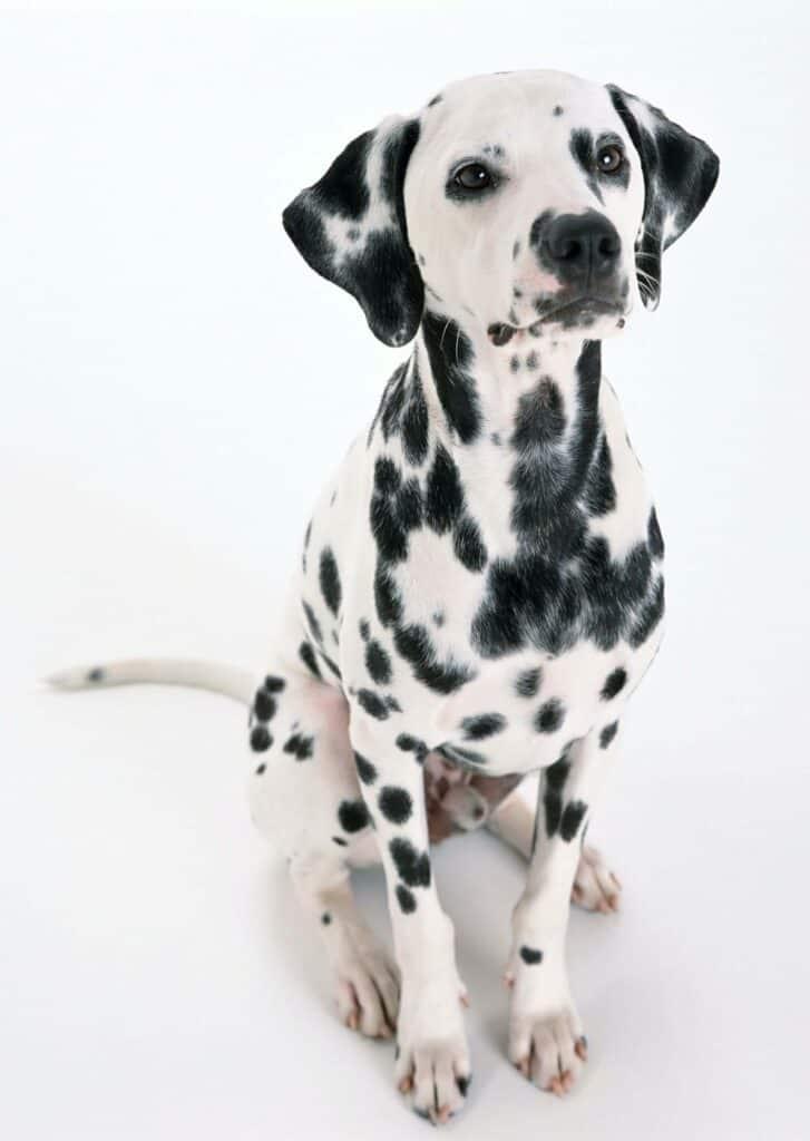 Dalmatian dog.