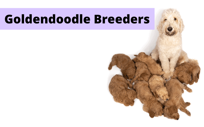 Dog with puppies with text that reads: Goldendoodle breeders.