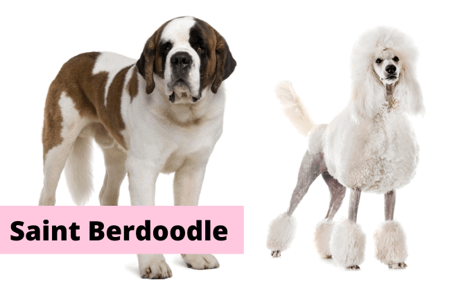 """Two dogs and text overlay that reads """"Saint Berdoodle""""."""