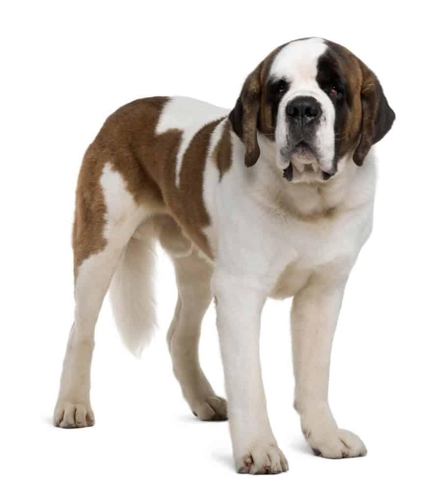 Saint Bernard dog standing.