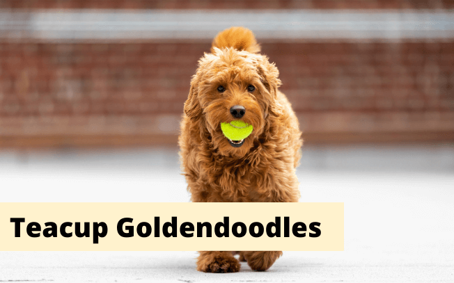 Small gold dog with text that reads: teacup goldendoodles.