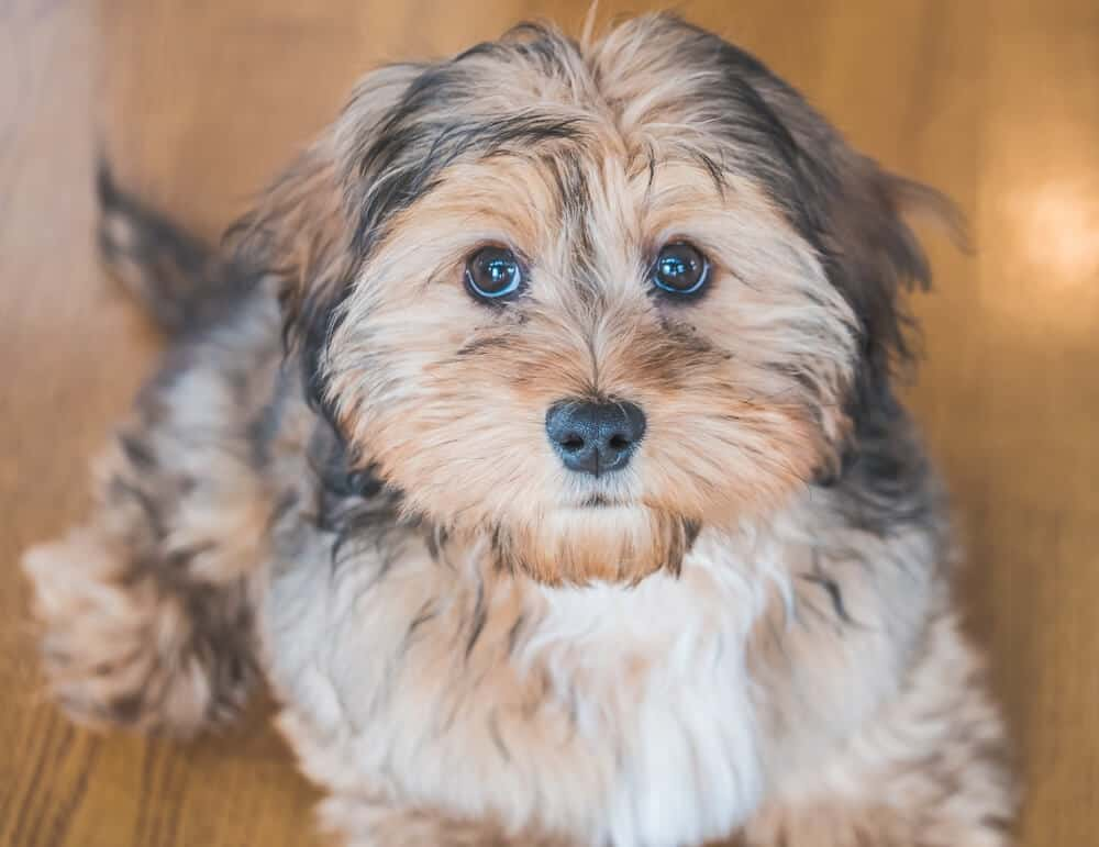 Small brown dog lookly sweetly into the camera.