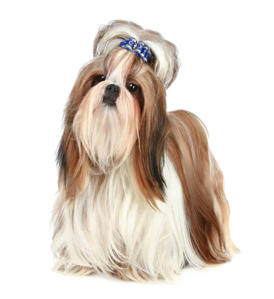 Small white and brown dog with beautiful long, silk, fur.
