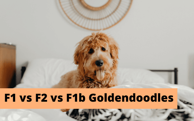 """An image of a shaggy dog with the words """"F1 vs F2 vs F1b Goldendoodles"""""""
